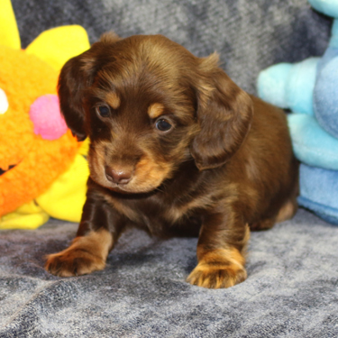 Oregon Dachshund Puppy Gallery Big Bad Doxies