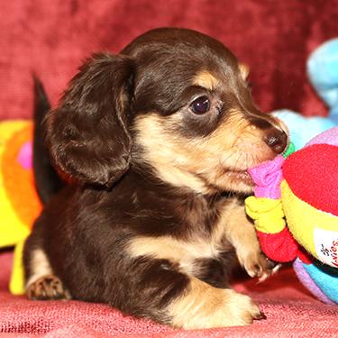 Mini Doxies Miniature Dachshund Puppies Big Bad Doxies Dallas