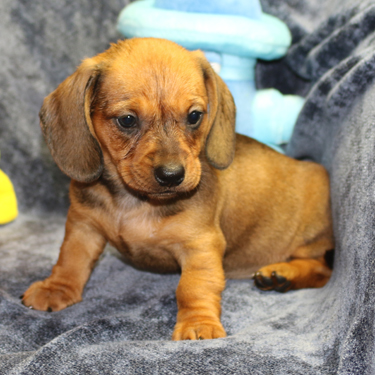 Mini-Doxies - Miniature Dachshund Puppies - Big Bad Doxies, Dallas